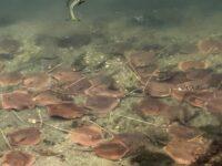Cientos de mantas rayas se acercan al litoral de Miami «en busca de oxígeno»