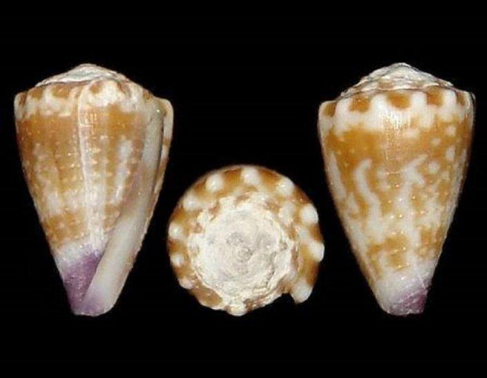 Estudio revela que el veneno de un caracol puede ayudar a tratar la malaria